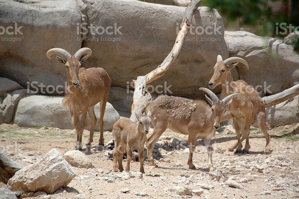 Aoudad  (Ammotragus lervia) royalty-free stock photo