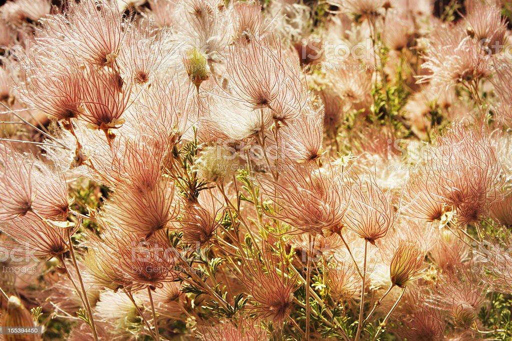 Apache Plume Fallugia paradoxa Prairie Smoke Plant royalty-free stock photo