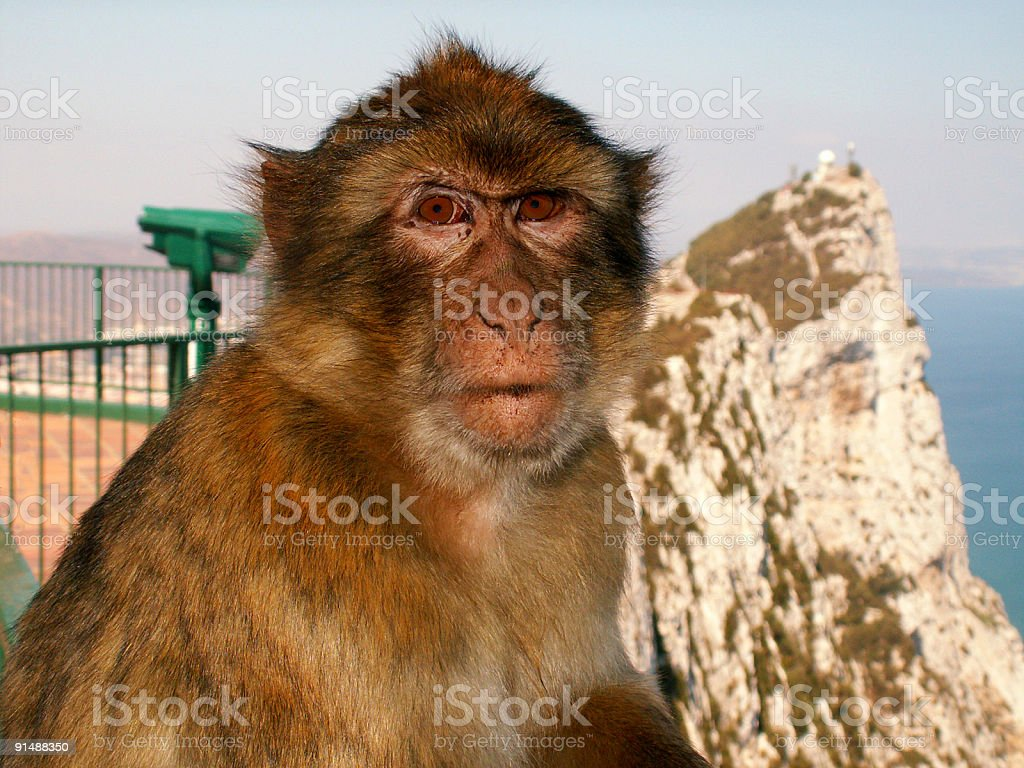 Ape in front of the Gibraltar rock stock photo