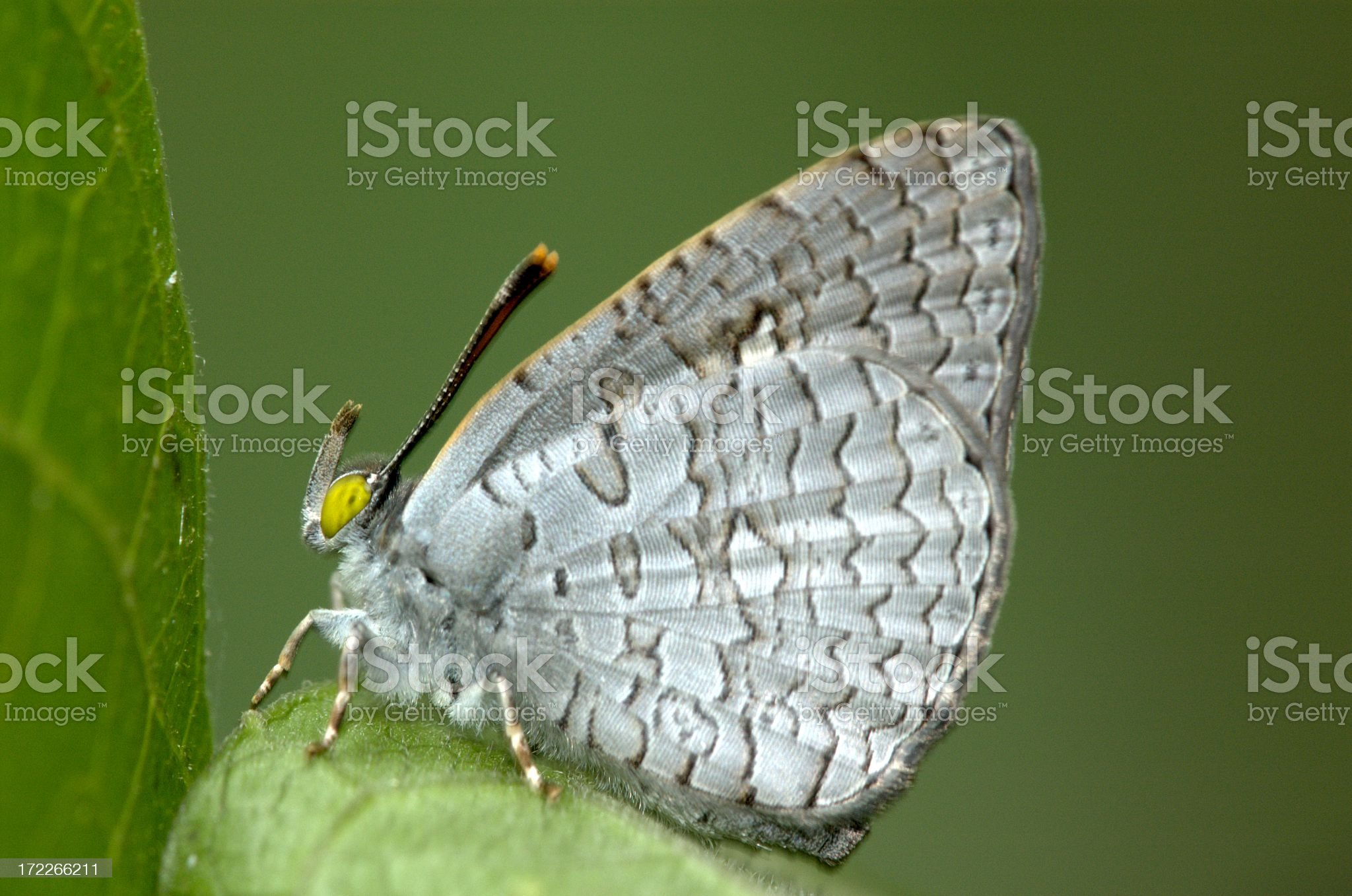 Apefly (Spalgis epius) in Singapore royalty-free stock photo
