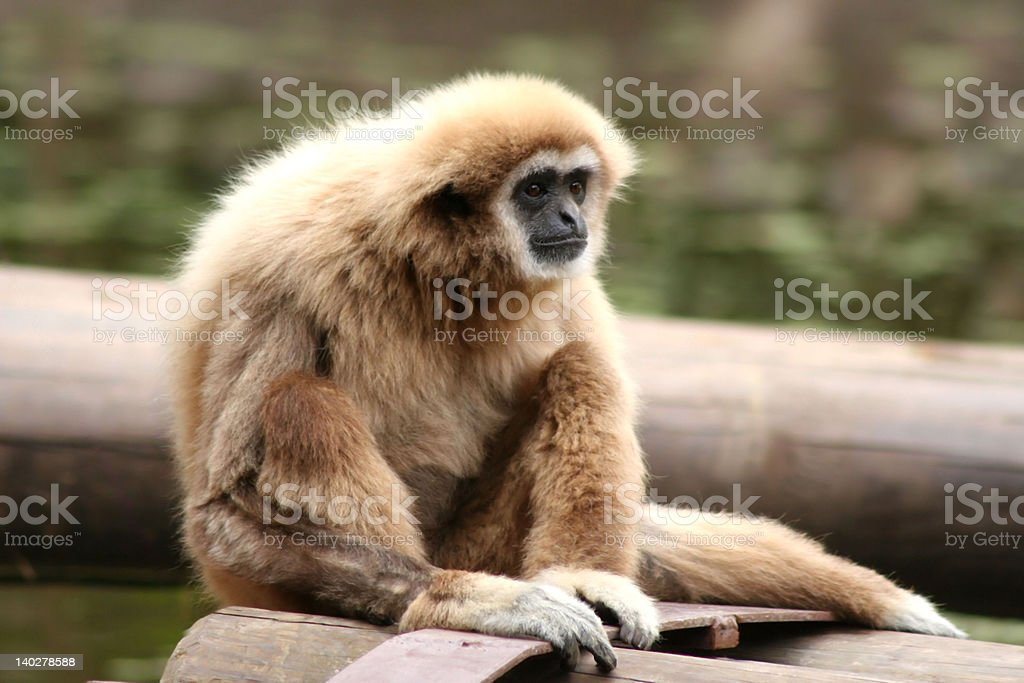 'Apes', monkey with fixed glance, seated in a wood trunk royalty-free stock photo