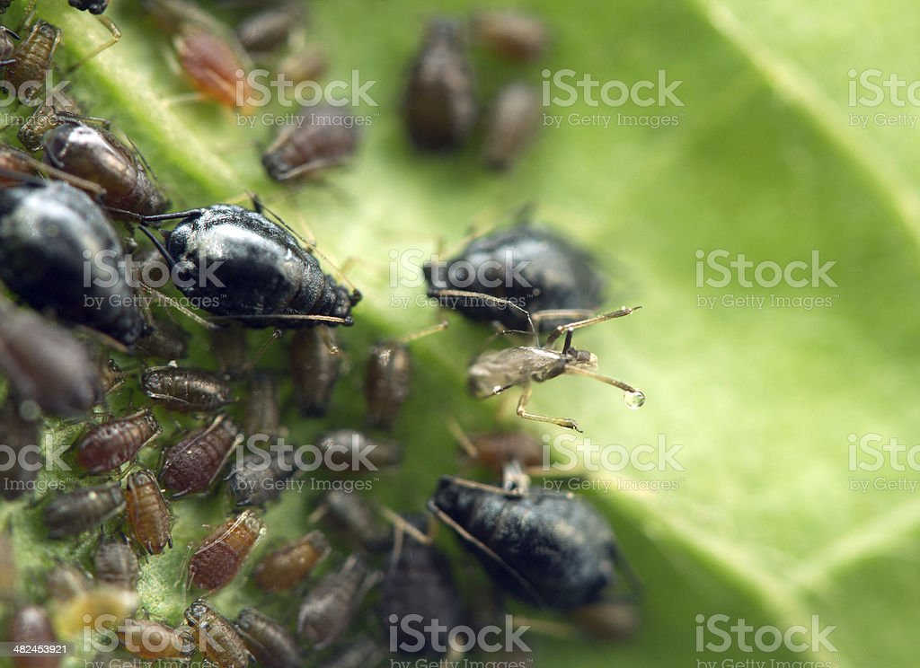 Aphid on a  leaf . Macro. Extreme closeup stock photo