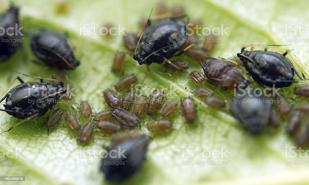 Aphid on a  leaf . Macro. Extreme closeup royalty-free stock photo