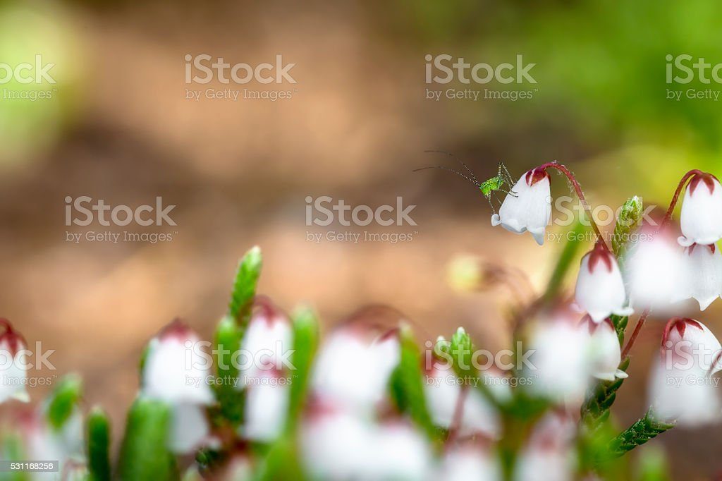 Aphid on a lily of the valley flower stock photo