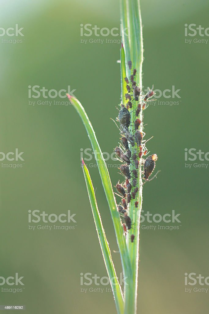 Aphids, also known as plant lice or greenflies stock photo