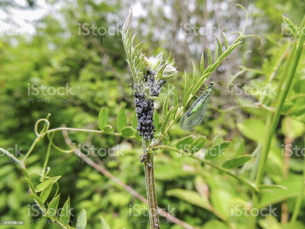 Aphids and lacewing adults stock photo