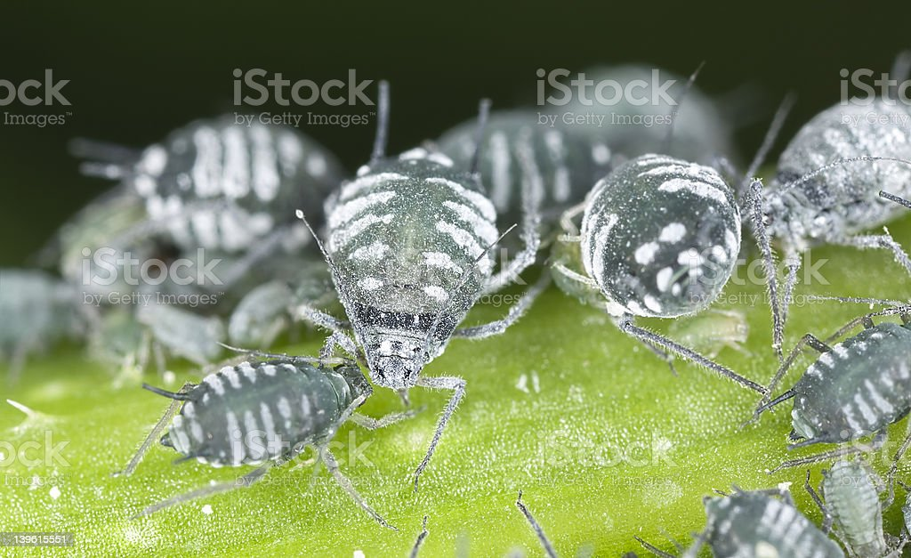 Aphids, extreme close up with high magnification stock photo