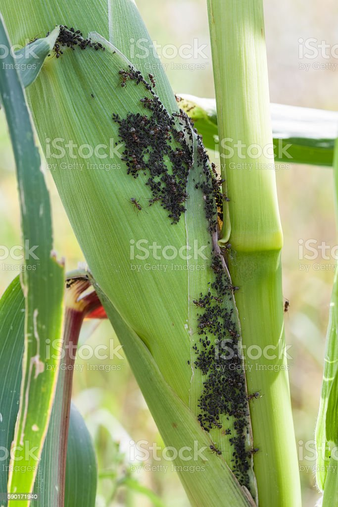 Aphids feed on sap corn stock photo