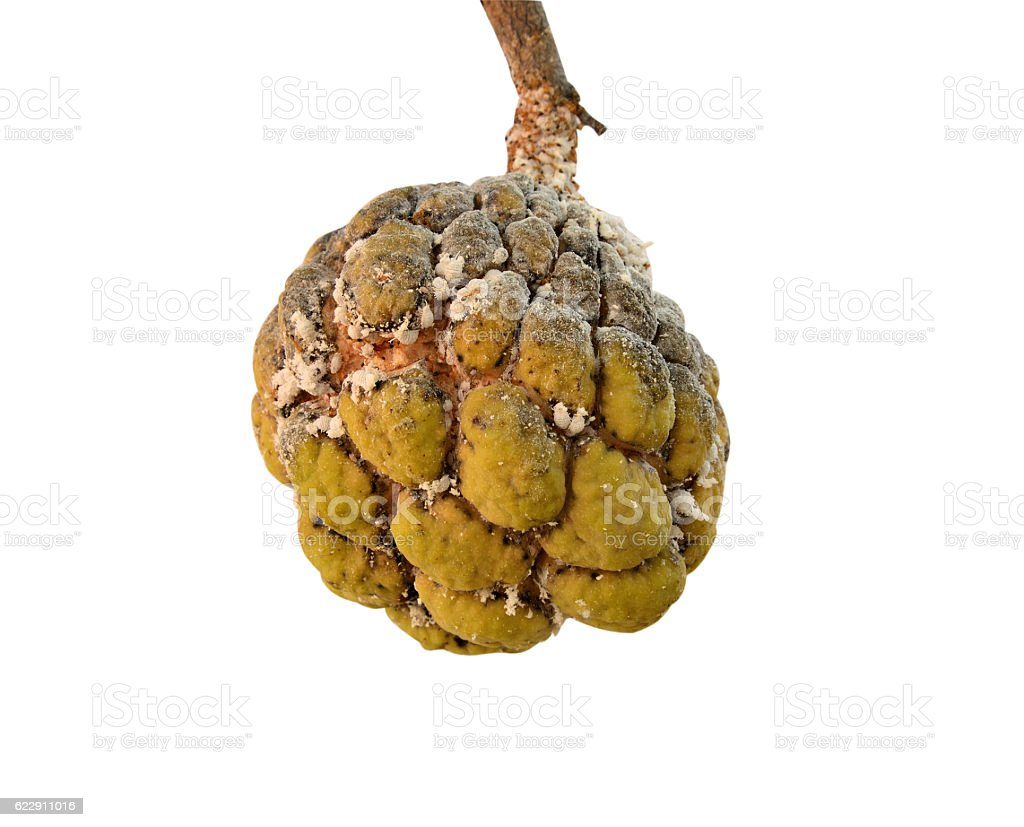Aphids little effect on custard apple on isolated stock photo