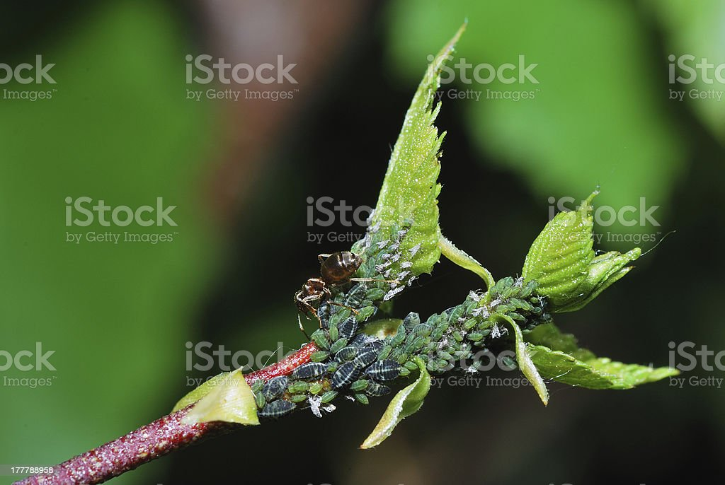 aphids oblique royalty-free stock photo
