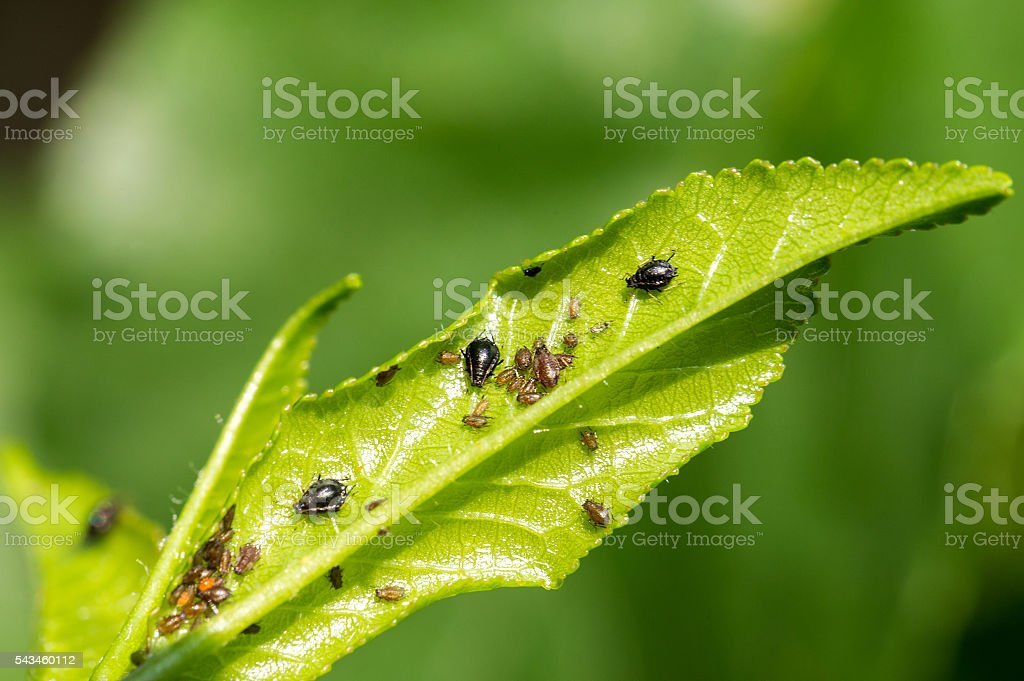 Aphids (Plant lice) on a cherry tree leaf stock photo