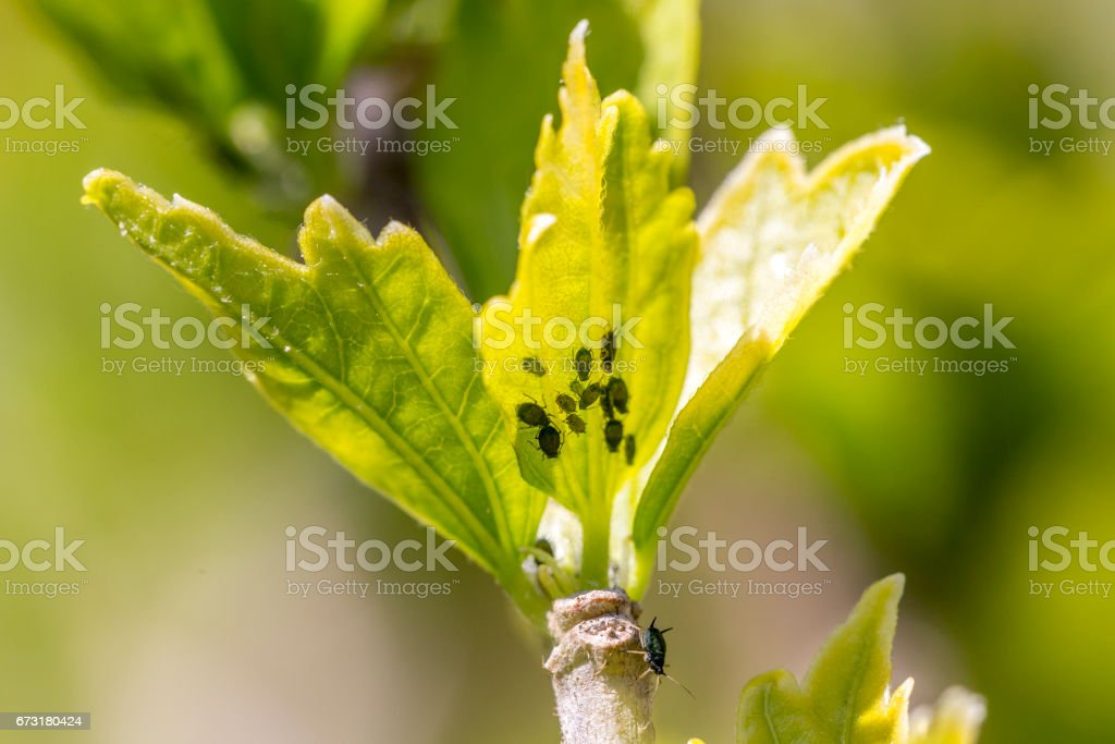 Aphids on a leaf stock photo
