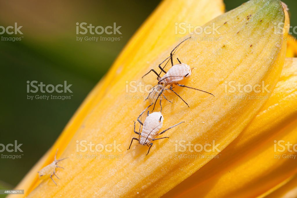 aphids on the green plant leaf, in the wild stock photo