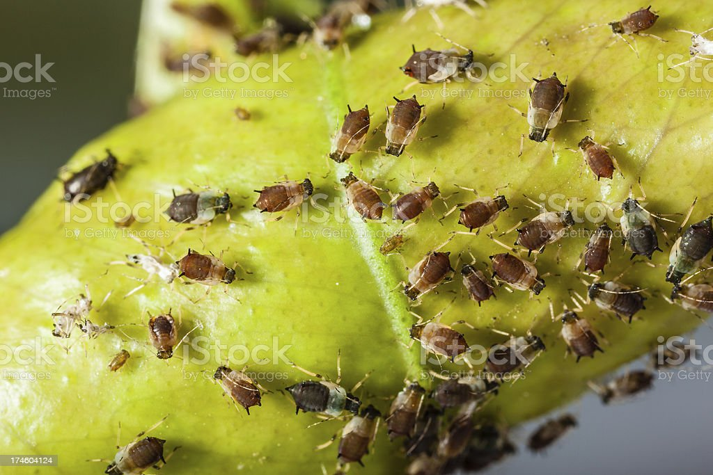 Aphids royalty-free stock photo