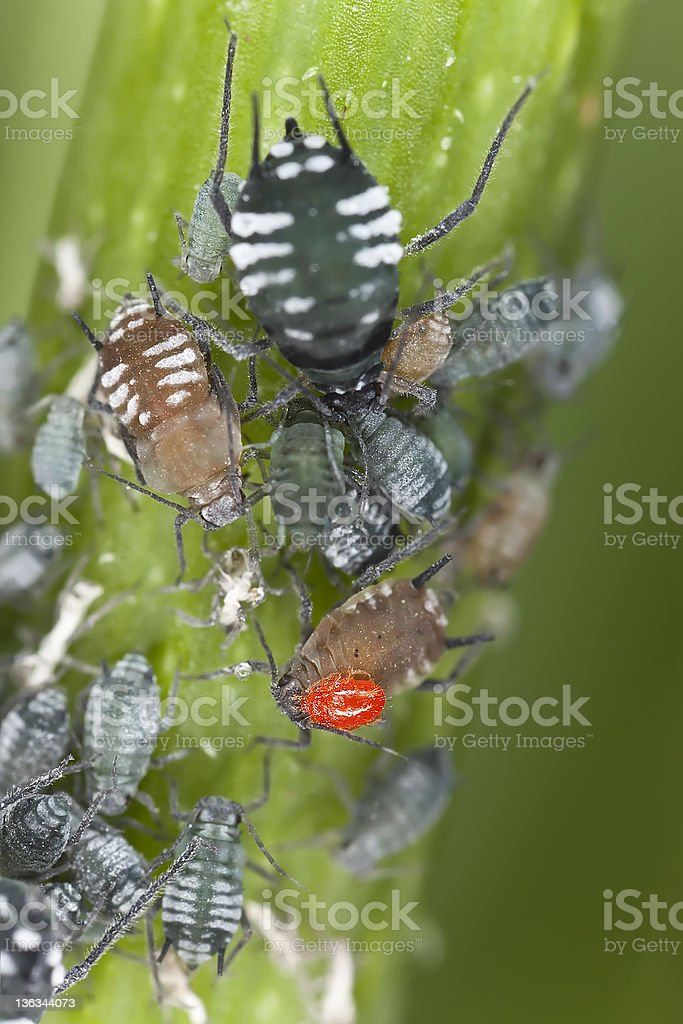 Aphids with parasite, extreme close up stock photo