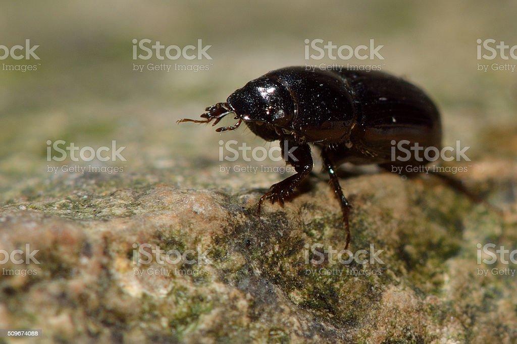 Aphodius granarius dung beetle stock photo