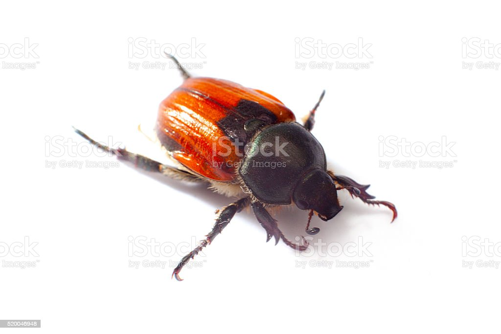 Aphodius scrutator, dung beetle, isolated on a white stock photo