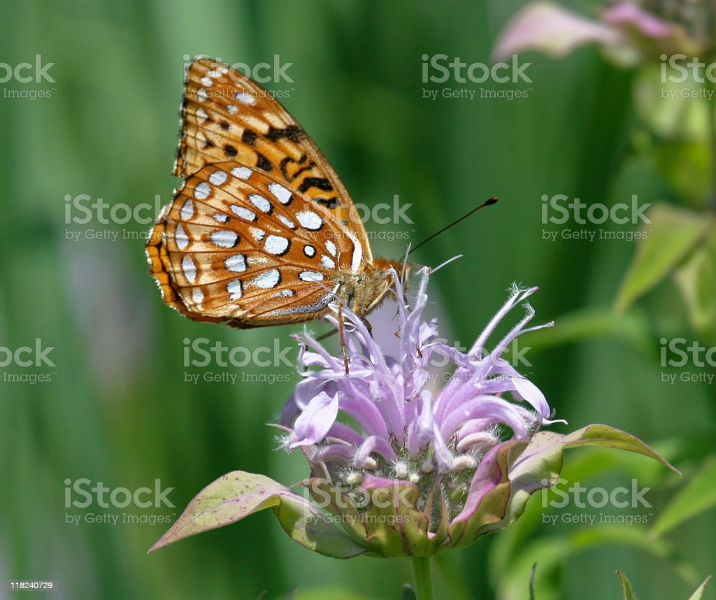 Aphrodite Fritillary Butterfly stock photo
