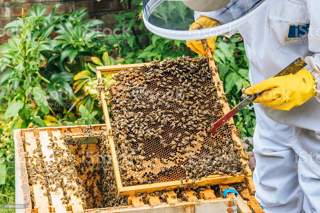 Apiarist inspecting beehive stock photo