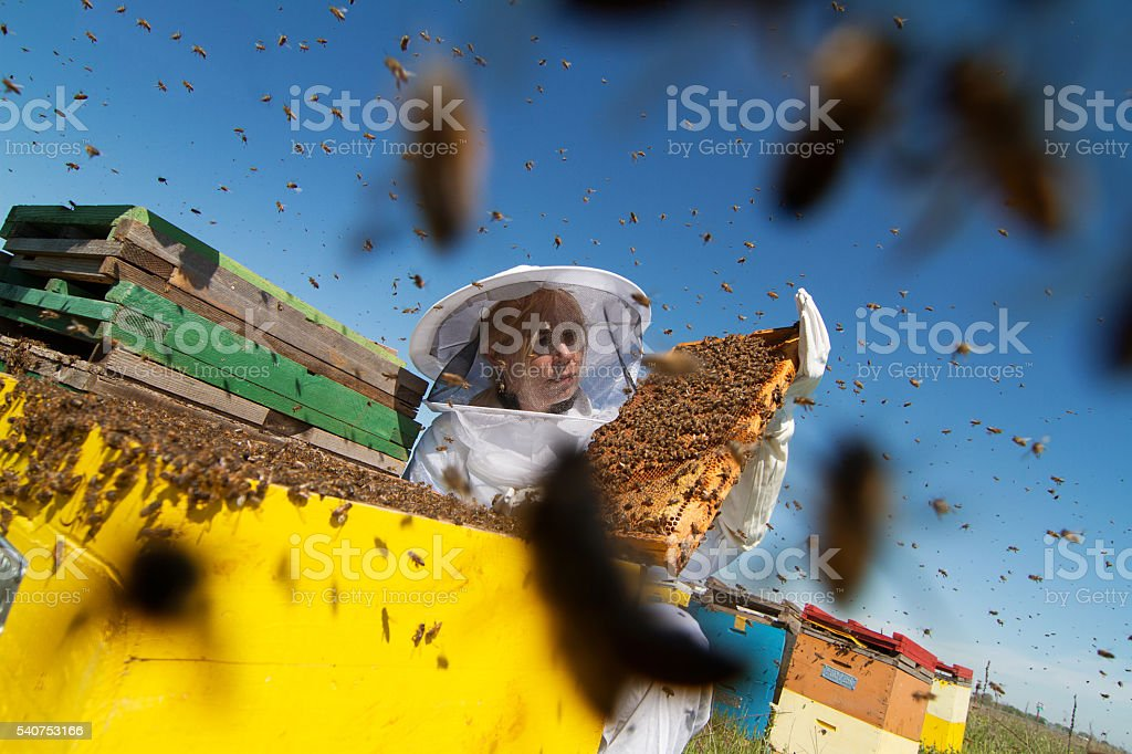 Apiarist watching over his bee hives stock photo