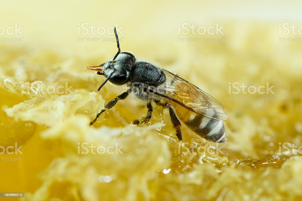 Apis florea stock photo