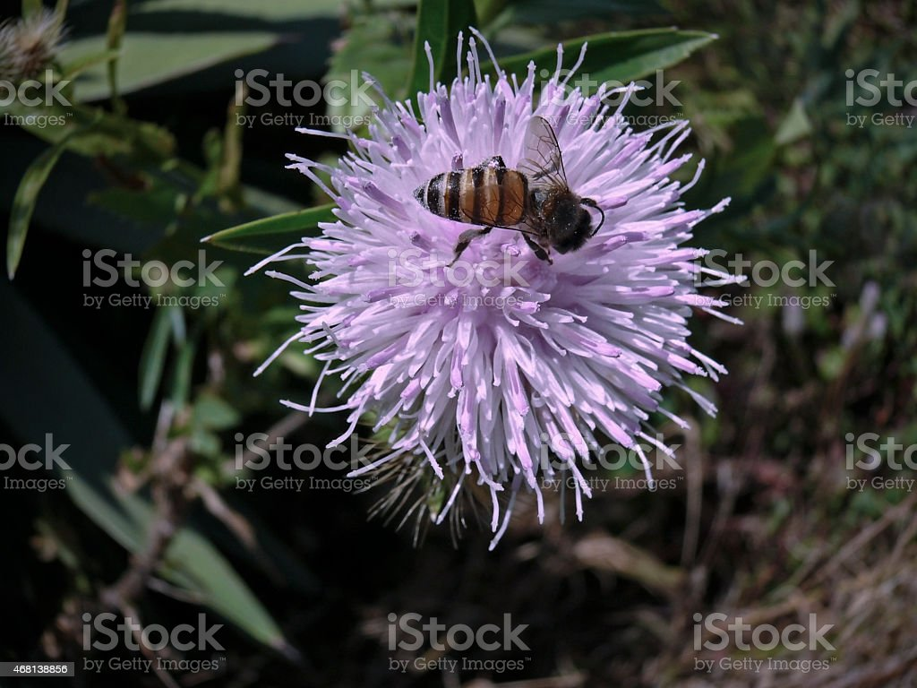 Apis Florea, small honeybee on Cardoon stock photo