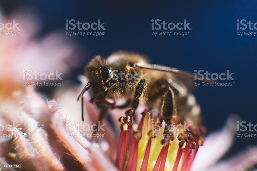 Apis Mellifera Carnica stock photo