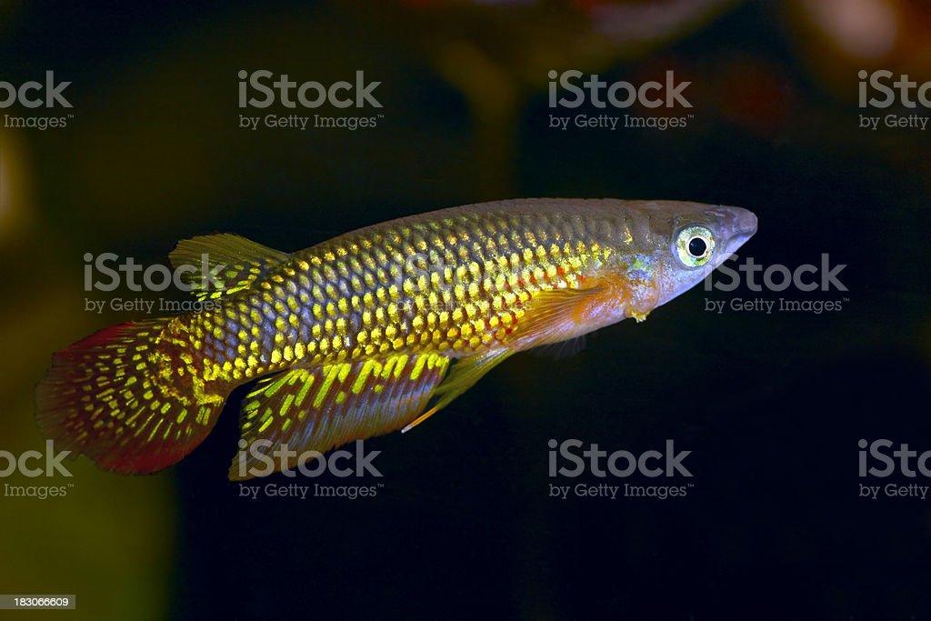 Aplocheilus lineatus stock photo