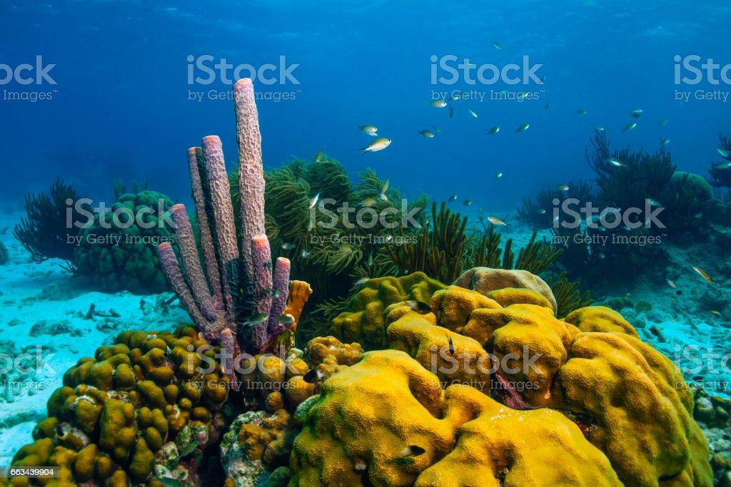 Aplysina archeri,stove-pipe sponge stock photo