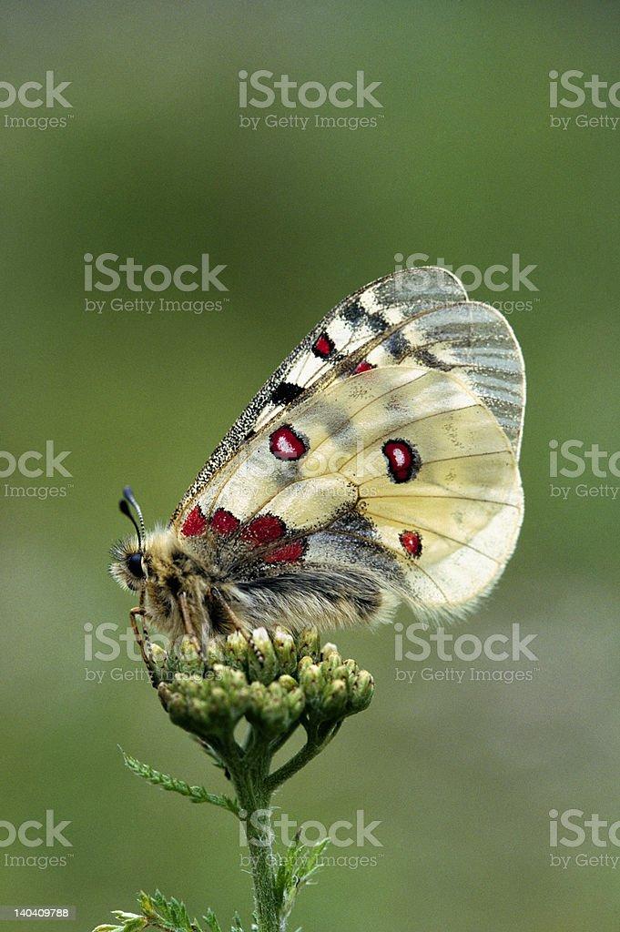 Apollo butterfly, Italian Alps, Europe stock photo