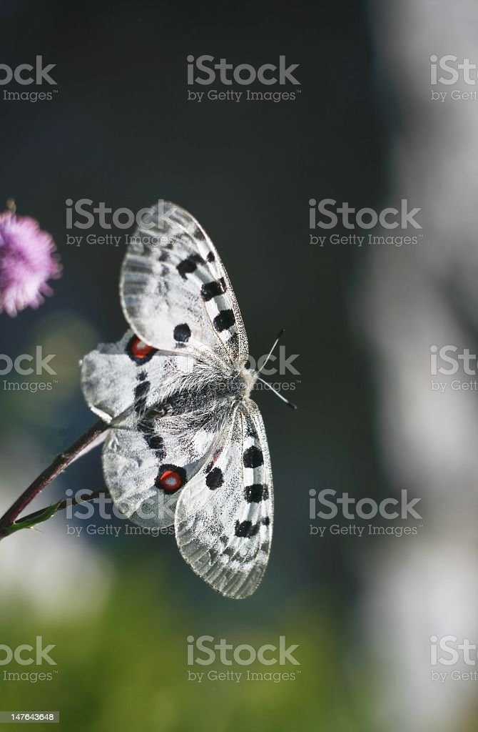 Apollo Butterfly stock photo