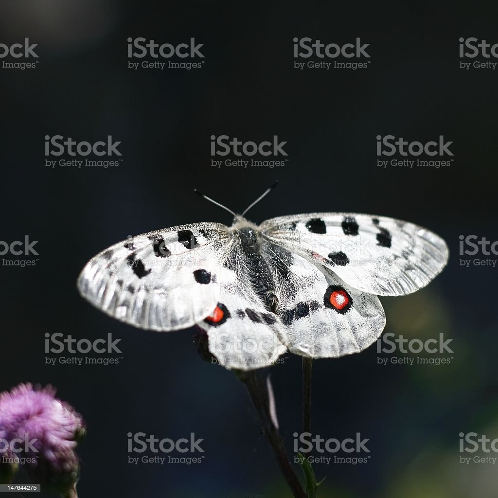 Apollo Butterfly stock photo