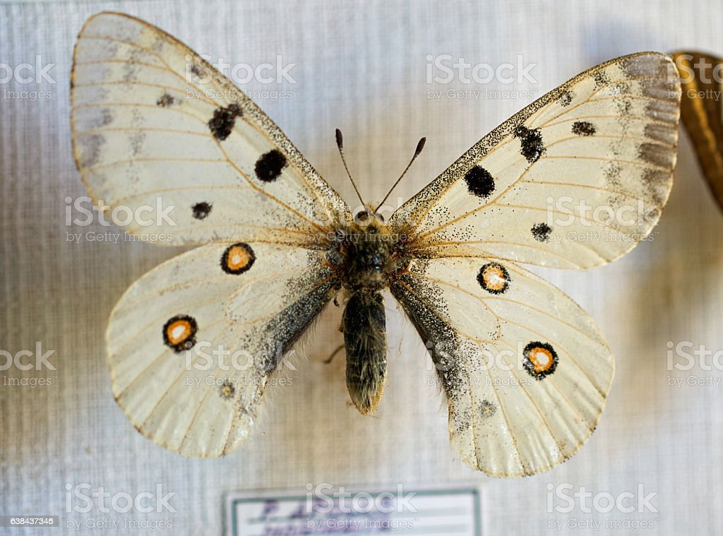 Apollo old butterfly in bad condition stock photo