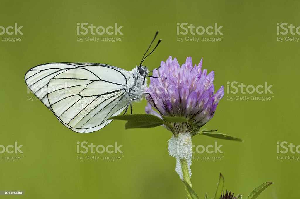 aporia crataegi stock photo