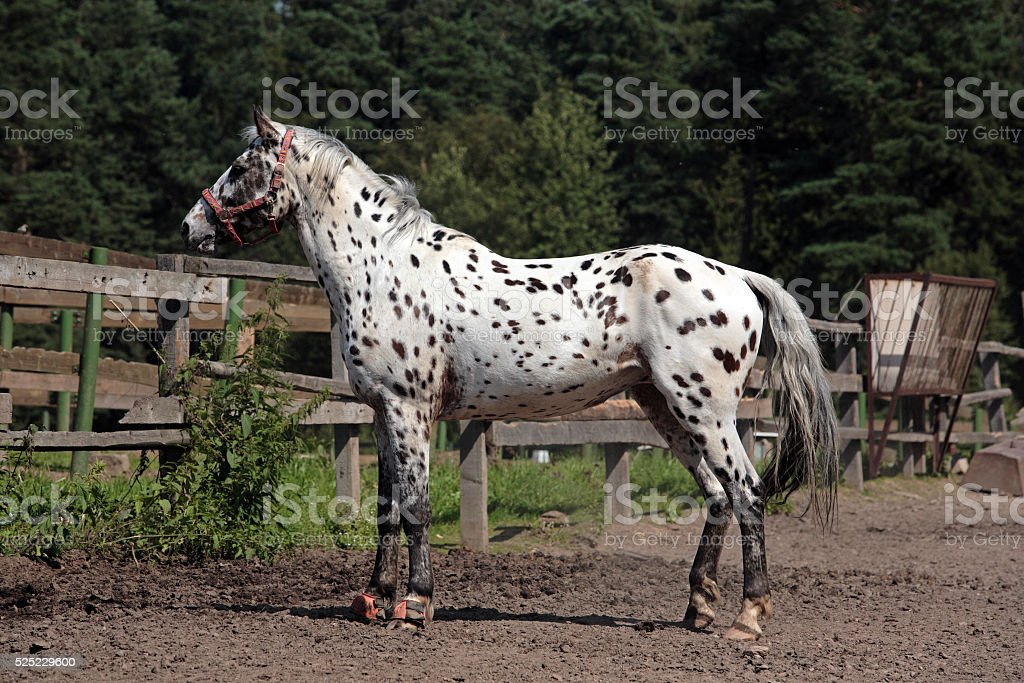 Appaloosa horse in stud farm stock photo