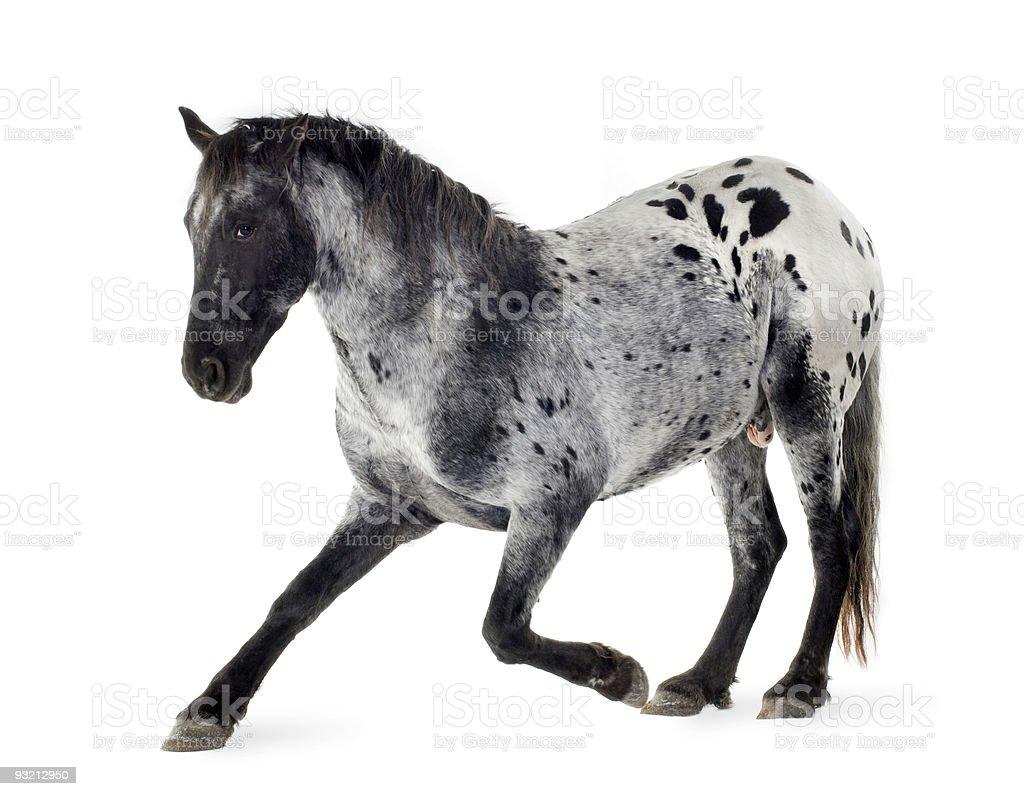 Appaloosa horse royalty-free stock photo