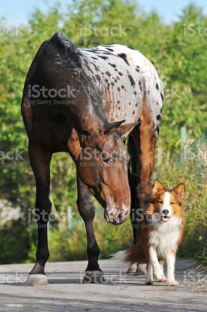 Appaloosa horse portrait in summer and puppy border collie stock photo