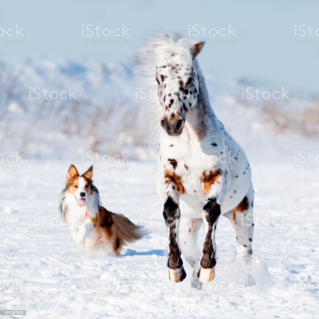 Appaloosa pony and sable border collie runs gallop in winter stock photo