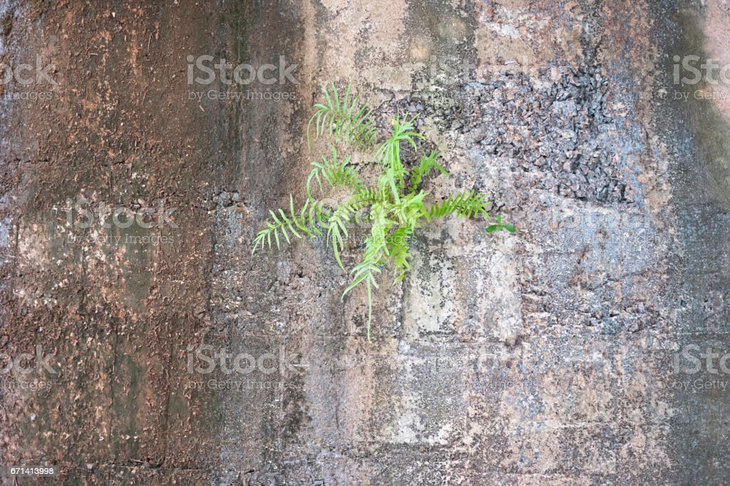 Appearance mountain fern stuck on cliff.Nature background stock photo