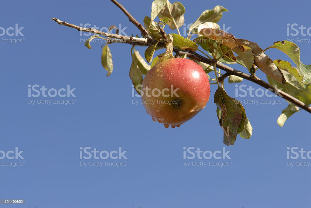 Apple after the rain... royalty-free stock photo