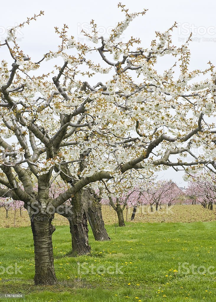 Apple and Cherry Orchards in Spring royalty-free stock photo