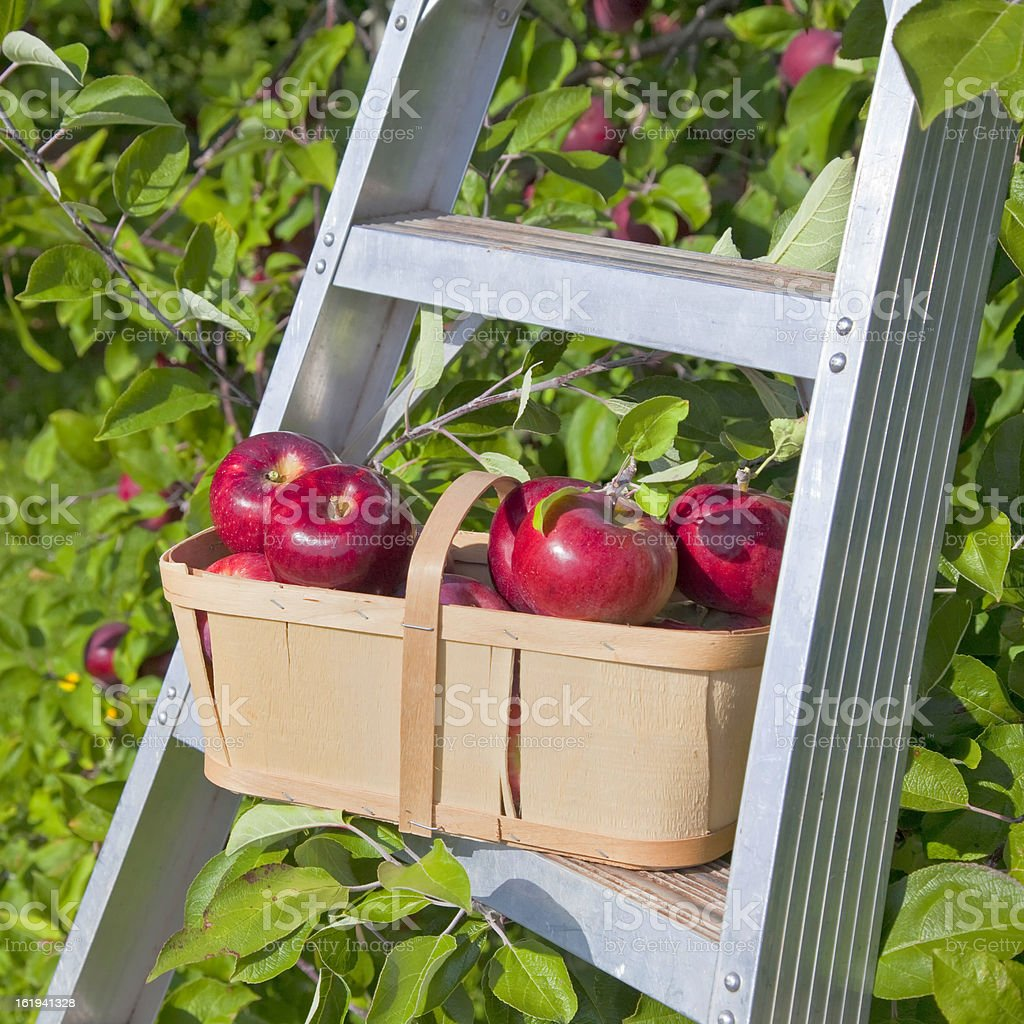 Apple Basket stock photo