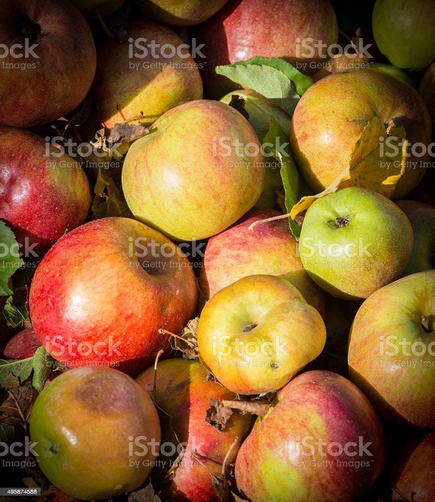 Apple Bin stock photo