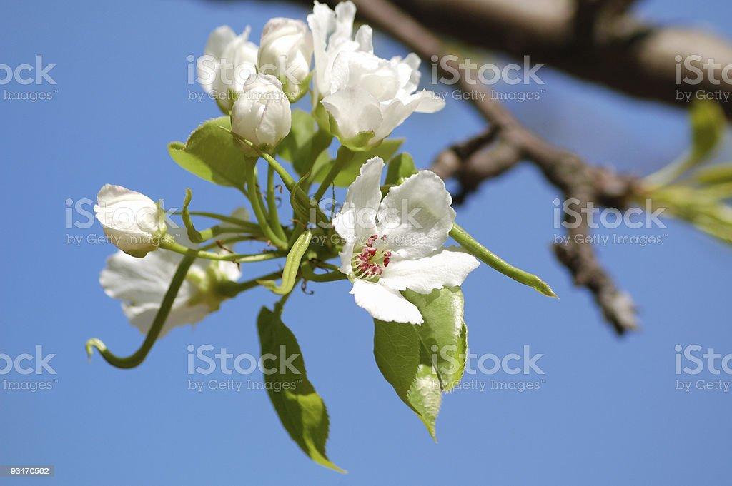 apple bloom stock photo