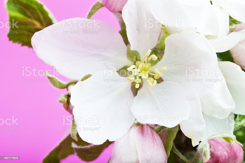 apple blosoom on pink royalty-free stock photo