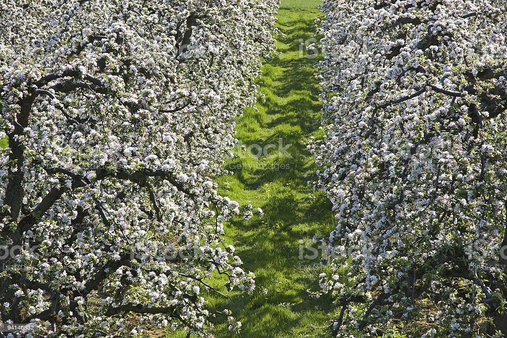 apple blossom abstrakt stock photo
