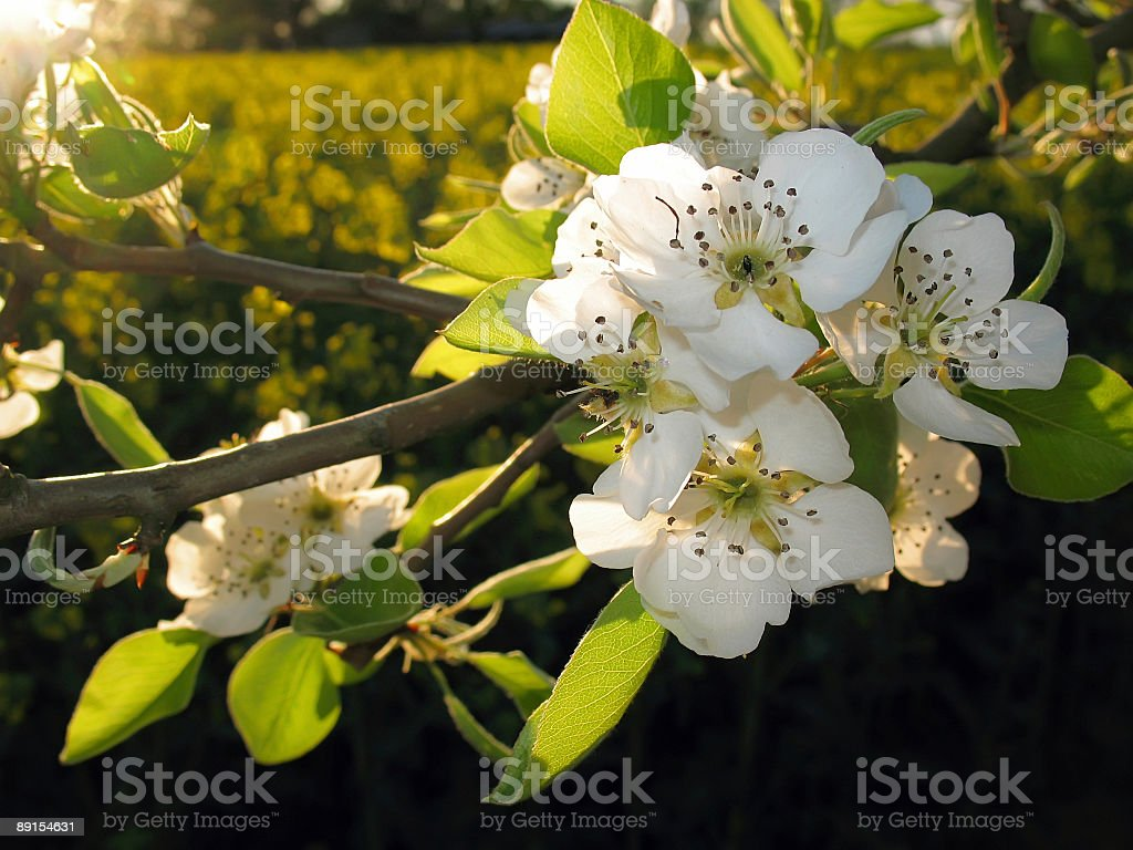 Apple blossom and canola field royalty-free stock photo