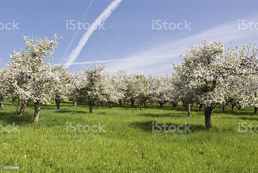 Apple blossom at springtime stock photo