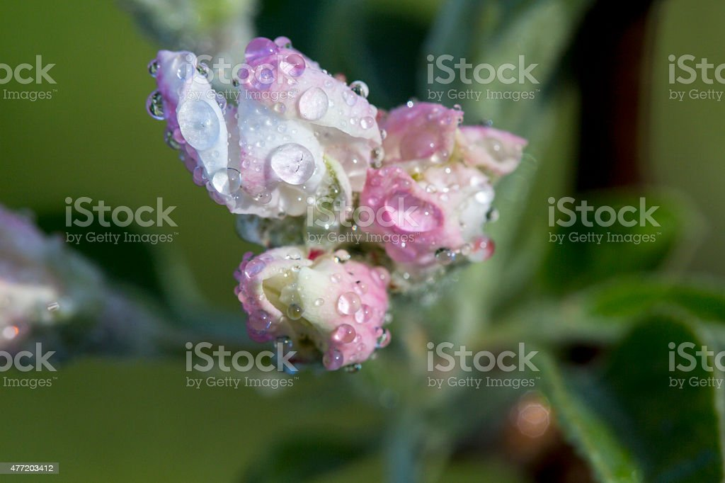 Apple Blossom Bud Shot with Dew on the Petals stock photo