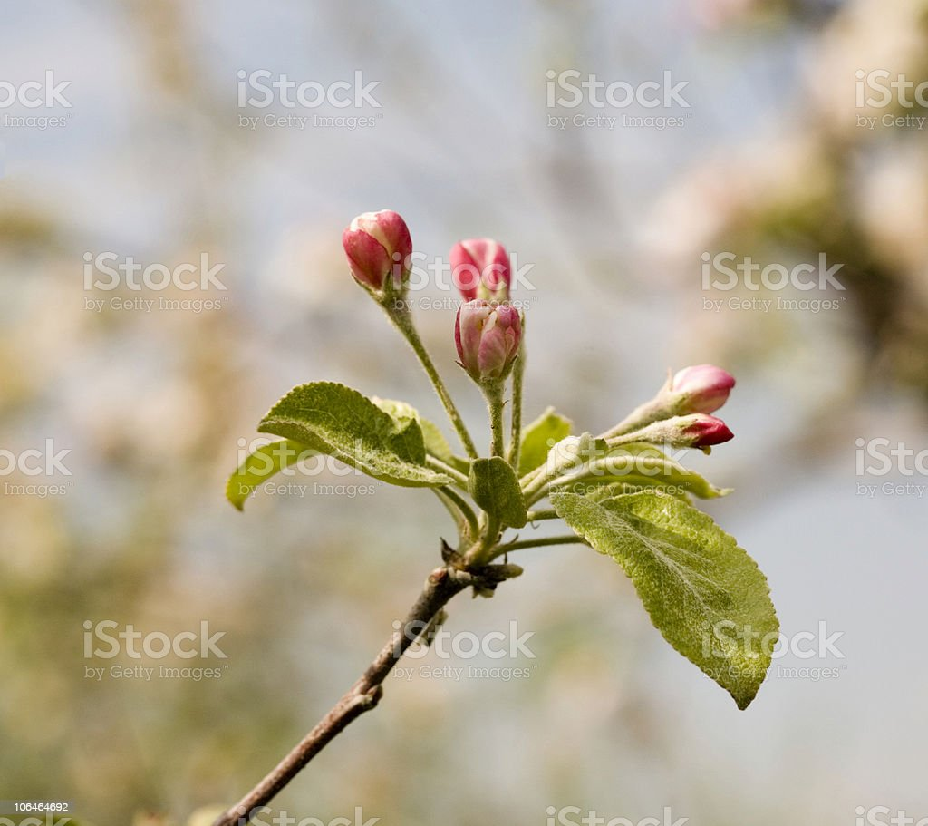 Apple Blossom Buds royalty-free stock photo